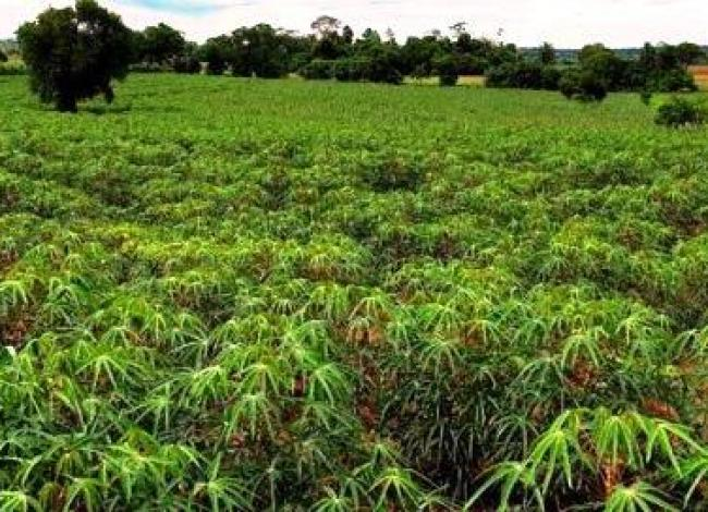 Produtores adaptam práticas de plantio direto para cultivar mandioca
